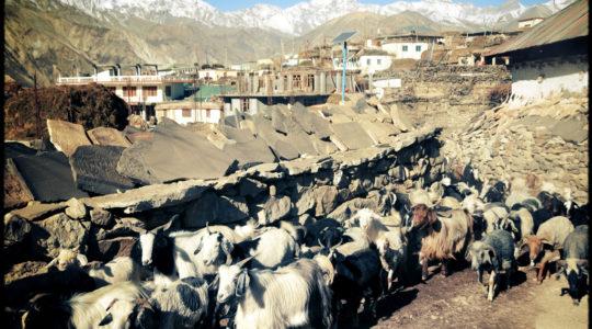 Chèvre au village de Nako - Voyage moto du Kinnaur au Spiti, Himachal pradesh, Inde, Himalaya
