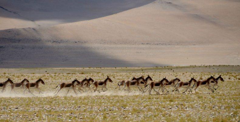 Kyang au lac Tsokar - Voyage moto au coeur du Ladakh, Inde, Himalaya